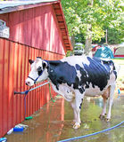 Dairy Cow Royalty Free Stock Photos