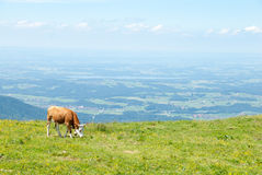 Dairy Cow Grazes in a High Alpine Meadow Stock Image