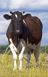 Dairy cow grazing Royalty Free Stock Image