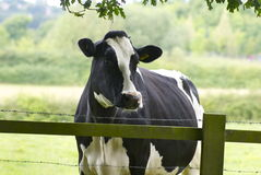Dairy cow grazing a meadow Royalty Free Stock Photography