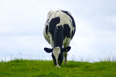 Dairy cow grazing a meadow Royalty Free Stock Photos
