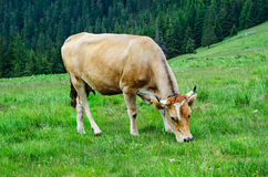 Dairy cow grazing at meadow Stock Image