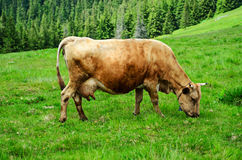Dairy cow grazing at meadow Stock Photo