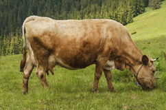 Dairy cow grazing at meadow Stock Images