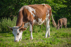 Dairy cow Stock Photo