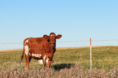 Dairy Cow Royalty Free Stock Images