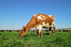 Dairy cow on green pasture royalty free stock images