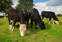 Dairy Cow Group
