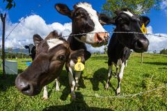 Free Dairy Cow In A Pasture Stock Image - 109132631