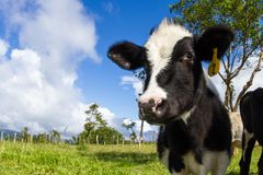 Free Dairy Cow In A Pasture Royalty Free Stock Image - 109132636