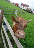Dairy cow looks over corral fence on the home pasture at the mountain village. Head of cow over wooden cattle fence on the hill of country pastureland Royalty Free Stock Images