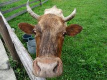 One cow inside the cattle fence with pasturage with green grass. Dairy cow looks over corral fence on the home pasture at the mountain village Royalty Free Stock Photo