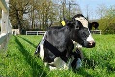 Dairy cow lying