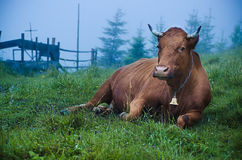 Dairy cow lying at meadow Stock Photo