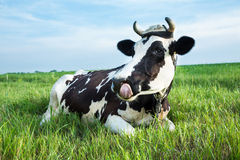 Dairy cow lying on a pasture Stock Image