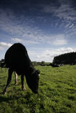 Dairy cow in a meadow. Dairy cows in a meadow, Wirral, England stock photos