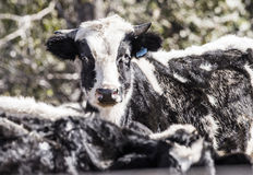 Dairy Cow in the Mud and Muck. Rural America. Stock Photos