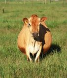 Dairy cow in paddock of grass Stock Photo