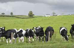 Dairy cow in pasture. Waltshire, England Royalty Free Stock Image