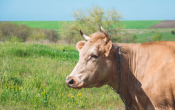 Dairy cow in pasture Royalty Free Stock Photography