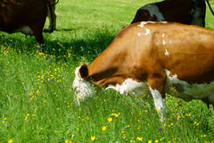 Dairy cow on a pasture Royalty Free Stock Photography