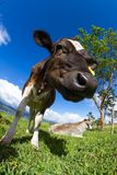 Dairy cow in a pasture Stock Image