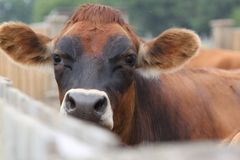 A dairy cow peers over the fence Stock Image