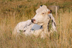 Dairy Cow Relaxing in Field Royalty Free Stock Images
