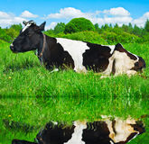 Dairy cow is resting Stock Photography