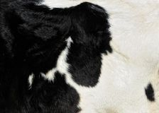 Dairy cow skin Stock Image