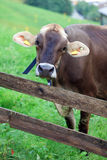 Dairy Cow in Switzerland Royalty Free Stock Photos