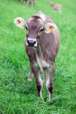 Dairy Cow in Switzerland Royalty Free Stock Photography