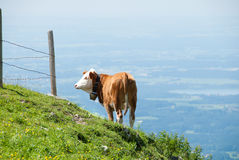 A Dairy Cow Teeters on the Edge of the World Stock Photo