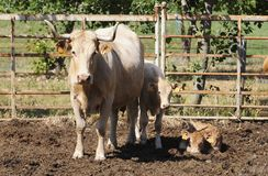 Dairy Cow with Two Calves, Farm Animals, Agriculture Stock Photography