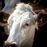 Dairy cow waiting in the milking queue Royalty Free Stock Photos