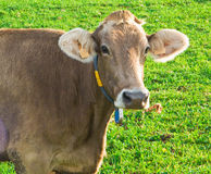 Dairy cow watching.  Royalty Free Stock Images