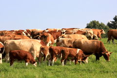 DAIRY COWS Royalty Free Stock Image