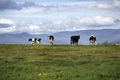 Dairy Cows. Four Dairy Cows with very full Udders make their way toward the Dairy at milking time Royalty Free Stock Photo