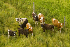 Dairy cows. Aerial view of holstein dairy cattle Stock Photography