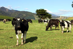 Dairy cows. In field with Mt Taranaki in background, New Zealand Stock Image
