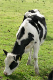 Dairy cows. Grazing cows royalty free stock photography