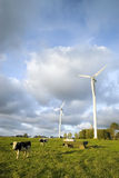 Dairy cows. A cow (cows) grazing in the dairy fields, wind turbines in the background Royalty Free Stock Photography