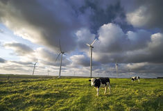 Dairy cows. A cow (cows) grazing in the dairy fields, wind turbines in the background royalty free stock photo