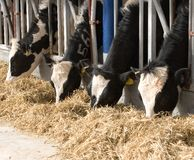 Dairy Cows Stock Photo