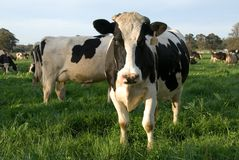 Free Dairy Cows Royalty Free Stock Image - 7006846