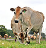 Dairy cows. Jersey cows on their way for milking Royalty Free Stock Photos