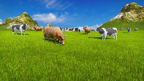 Dairy cows on alpine pasture Close up Royalty Free Stock Image