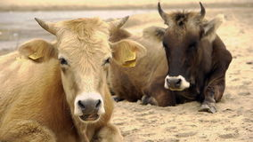 Dairy cows (Bos taurus) resting on beach stock video