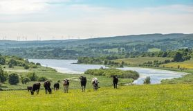 Dairy Cows and castle Semple Loch in Scotland, A mixture of farm. Some dairy cows and overlooking castle Semple Loch to the wind farm turbines in the hazy Royalty Free Stock Photos