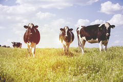 Dairy cows at countryside, with beautiful sky in the background. Vintage style dairy cows postcard Stock Images